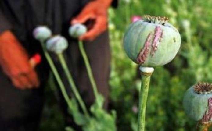 Понад 3 тисячі рослин снодійного маку вилучила поліція ужителів Житомирщини